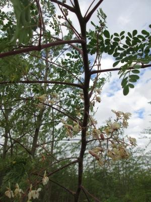 Moringa-FloweringTree